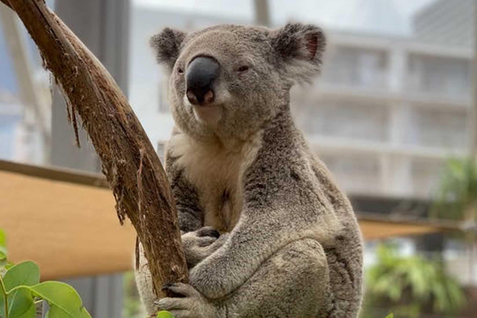 Hug Cuddly Creatures at a Koala Park Sanctuary