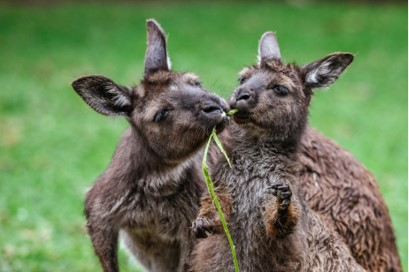 Play With Animals at Featherdale Wildlife Park
